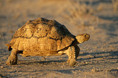 Mountain (leopard) tortoise, South Africa Royalty Free Stock Images