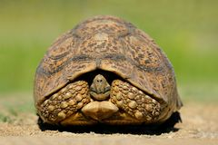 Mountain (leopard) tortoise, South Africa. Mountain or leopard tortoise (Geochelone pardalis) in natural environment, South Africa Stock Images