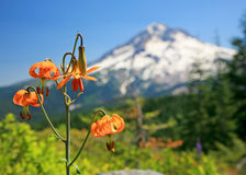 Mountain Lilies. Orange tiger lilies in the meadows below Mt. Hood in Oregon Royalty Free Stock Photo