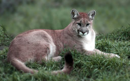 Mountain Lion. A mountain lion Royalty Free Stock Photos