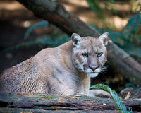 Mountain lion. Also know as cougar, puma or panther Stock Photography