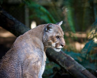 Mountain lion. Also know as cougar, puma or panther Royalty Free Stock Photography