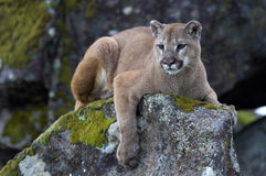 Mountain Lion. On rock near Yosemite National Park in California Stock Photography
