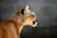Mountain Lion. (Puma Concolor) portrait stock photography