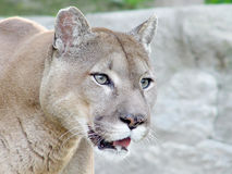 Mountain lion. Close-up of captive cougar / puma / mountain lion Royalty Free Stock Images
