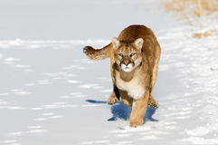 Mountain Lion Stock Photos