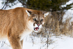 Mountain Lion. Growling in snow Royalty Free Stock Photography