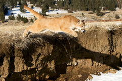 Mountain Lion. Jumping off ledge Stock Image