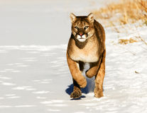 Mountain Lion. Running in snow Royalty Free Stock Images