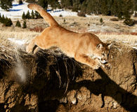 Mountain Lion. Jumping off ledge Stock Photography