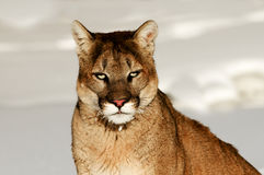 Mountain Lion. Sitting on snow Royalty Free Stock Photography