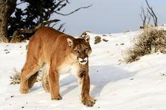 Mountain Lion. Stalking on snowy hill Royalty Free Stock Image
