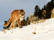 Mountain Lion. Stalking on snowy hill Royalty Free Stock Images