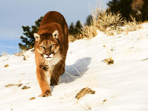 Mountain Lion. Stalking on snowy hill Stock Images
