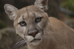 Mountain Lion 2. A portrait of an angry mountain lion stock image