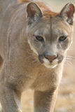 Mountain Lion. Focus at something Royalty Free Stock Photography