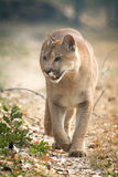 Mountain Lion. Walking in zoo Royalty Free Stock Images