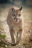 Mountain Lion. Walking in zoo Royalty Free Stock Photo