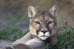 Mountain Lion Stock Image