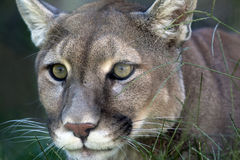 Mountain Lion. A close up shot of a mountain lion (Puma concolor) laying in the grass stalking its prey Stock Photos