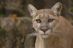 Mountain Lion 3. A portrait of an angry mountain lion Royalty Free Stock Image