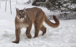 Free Mountain Lion Stock Images - 35329014