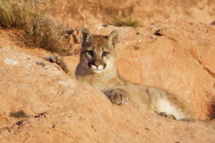 Mountain Lion. Young mountain lion lying among red sandstone boulders Royalty Free Stock Images