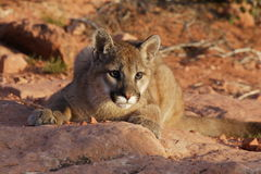 Mountain Lion. Young mountain lion crouching on red sandstone ledge Stock Photos