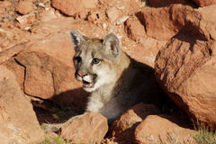 Mountain Lion. Portrait of young mountain lion lying amoung red sandstone rocks Stock Image