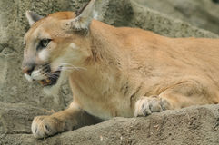 Mountain Lion Royalty Free Stock Photography
