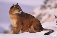 Mountain Lion. A mountain lion sitting on a snowy ridge Stock Photo