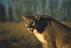 Mountain Lion Stock Photos