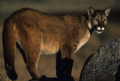 Mountain Lion. A  mountain lion on rocks in early morning light Stock Photography