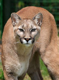 Mountain Lion stock photo