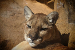 Mountain Lion. An adult mountain lion profile stock images