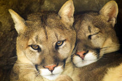 Mountain Lion Affectionate Pair Sleep Together in. This affectionate pair of mountain lions or cougars rest comfortably in their cave area at our local zoo Royalty Free Stock Photography
