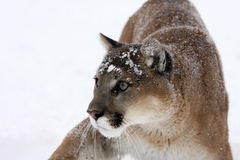 Mountain Lion alert to danger Stock Photos