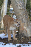 Mountain lion by aspen tree. In forest Stock Photo