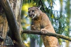 Mountain Lion. Beautiful Adult Mountain Lion close-up portrait Stock Image