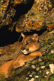 Mountain Lion Bedded Royalty Free Stock Photo