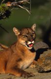 Mountain Lion Bedded in Rocks Royalty Free Stock Images