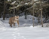 Mountain Lion bounding out of the woods. At Triple D Game Farm Kalispell, MT USA Stock Photo