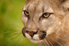 Mountain Lion. Close crop of a Mountain Lion or Puma royalty free stock photo
