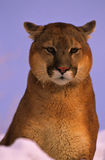 Mountain Lion Close Up Royalty Free Stock Photo