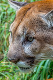 Mountain Lion Stock Images