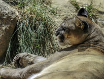 Mountain Lion. Close up portrait of wild cat cougar royalty free stock photos
