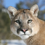 Mountain Lion closeup Royalty Free Stock Image