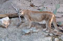 Mountain lion or cougar Stock Image