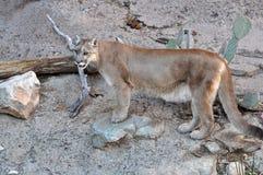 Mountain lion or cougar Stock Image