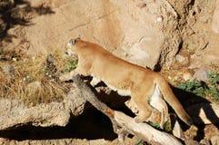 Mountain lion or cougar Stock Photos